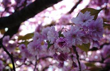 Elhoztuk a japán cseresznyefák virágait